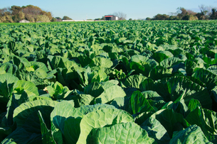 background[cabbage_field]_18の写真素材 [FYI00446981]