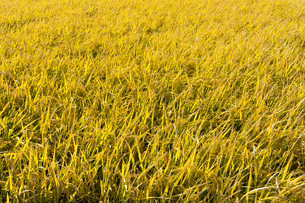 background[rice_plant]_12の写真素材 [FYI00447054]