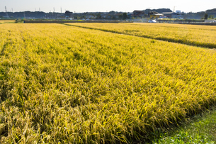 background[rice_plant]_01の写真素材 [FYI00447060]