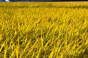 background[rice_plant]_04の写真素材 [FYI00447064]