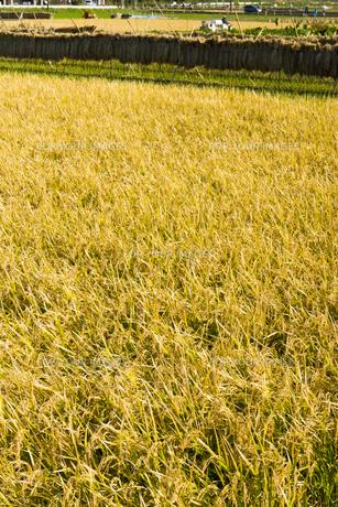 background[rice_plant]_20の素材 [FYI00447073]