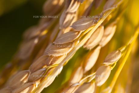 background[rice_plant]_85の素材 [FYI00447091]