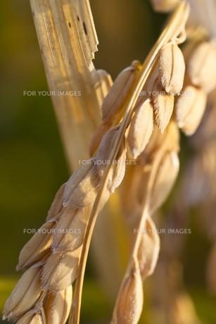 background[rice_plant]_81の素材 [FYI00447093]
