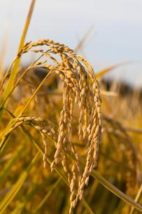 background[rice_plant]_88の素材 [FYI00447115]