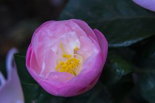 blossom[japanese_camellia]20の素材 [FYI00447355]