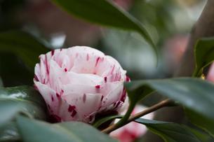 blossom[japanese_camellia]76の素材 [FYI00447372]