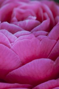 blossom[japanese_camellia]91の素材 [FYI00447375]