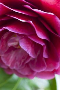 blossom[japanese_camellia]93の素材 [FYI00447386]