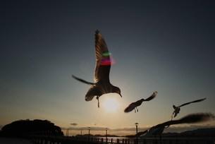 沈む夕日を捕らえたカモメ達の写真素材 [FYI00447458]