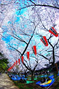上野公園の桜の写真素材 [FYI00447462]