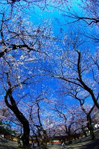 九段の桜の写真素材 [FYI00447463]