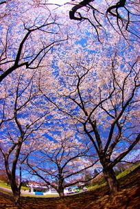 国営昭和記念公園の桜の写真素材 [FYI00447471]