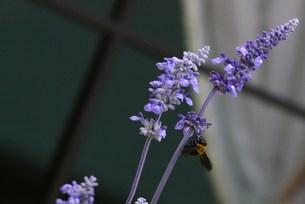花の蜜を吸う蜂の写真素材 [FYI00447480]