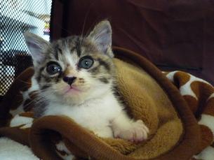 ベッドの中の子猫の写真素材 [FYI00447653]