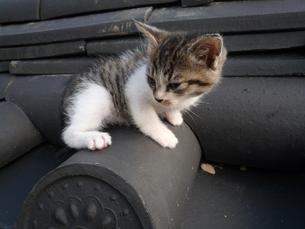 瓦の上の子猫の写真素材 [FYI00447661]