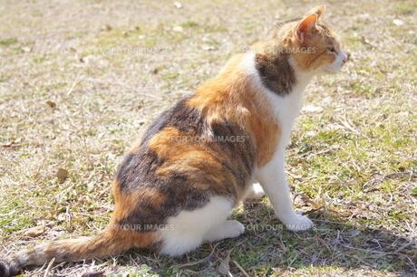 三毛猫と芝生の写真素材 [FYI00447711]