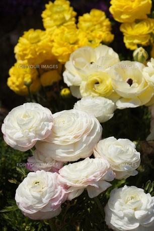 白い花と黄色い花の写真素材 [FYI00447760]