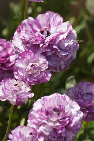 紫の花の写真素材 [FYI00447775]