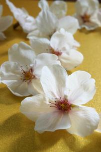 サクラの花びらの写真素材 [FYI00447821]