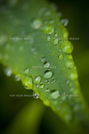 葉と雫の素材 [FYI00448204]