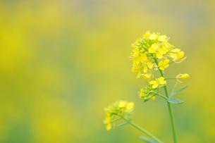 菜の花畑の写真素材 [FYI00448208]