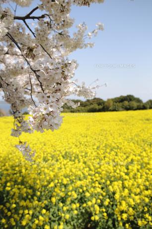 菜の花畑と桜の素材 [FYI00448212]