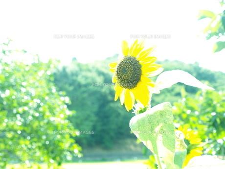 花のユメの写真素材 [FYI00448228]