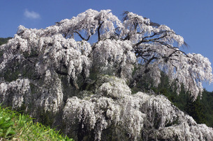 安曇野のしだれ桜の素材 [FYI00448249]