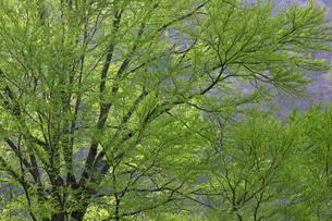 かつらの新緑の写真素材 [FYI00448250]