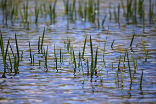 池の水草の写真素材 [FYI00448275]