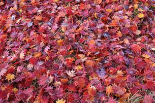 紅葉したカエデの落ち葉の写真素材 [FYI00448276]