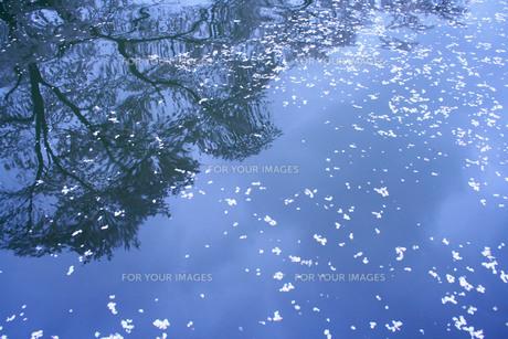 水面に映る桜と花びらの素材 [FYI00448284]