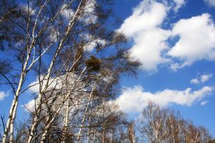 白樺と青空の写真素材 [FYI00448293]