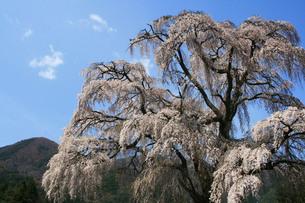 安曇野の枝垂桜の素材 [FYI00448295]