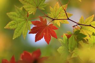 赤と緑のカエデの葉の写真素材 [FYI00448302]