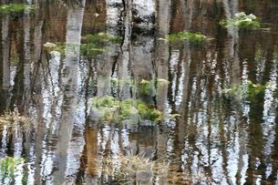 池とミズバショウと白樺の写真素材 [FYI00448303]