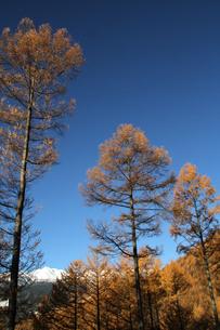唐松林と乗鞍岳の写真素材 [FYI00448314]
