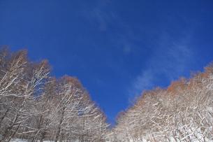 青空と雪の林の写真素材 [FYI00448346]