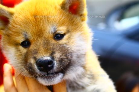 子供の柴犬の写真素材 [FYI00448535]