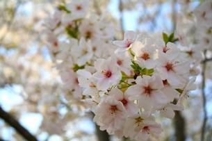 満開の桜の写真素材 [FYI00448537]