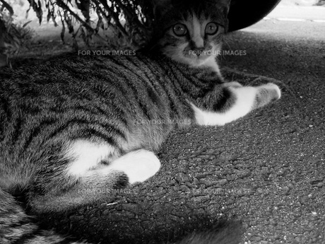 車の下のトラ猫の写真素材 [FYI00448554]