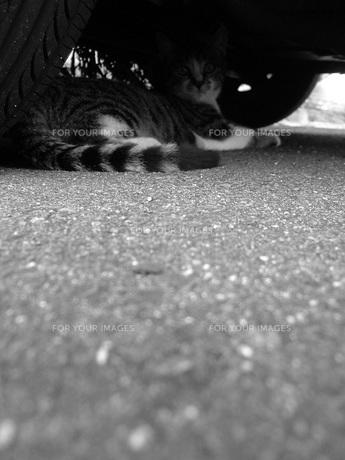 車の下にいるトラ猫(モノクロ)の写真素材 [FYI00448557]