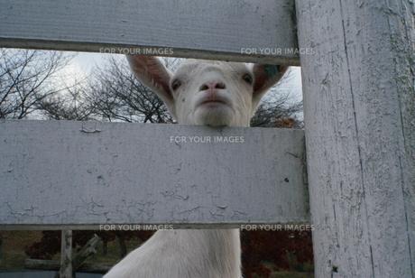 ヤギの目線の写真素材 [FYI00448559]