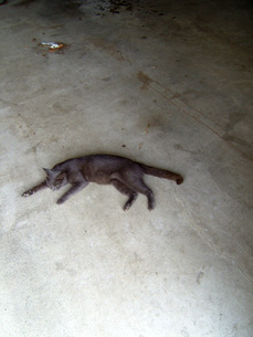 コンクリートの上に寝転ぶ黒猫の写真素材 [FYI00448563]