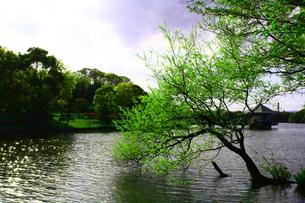 池の中から出る木の写真素材 [FYI00448578]