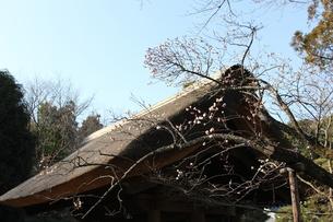 屋根と梅の花の写真素材 [FYI00448599]