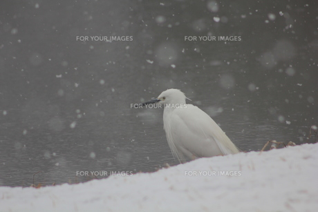 雪の中のサギの素材 [FYI00448667]