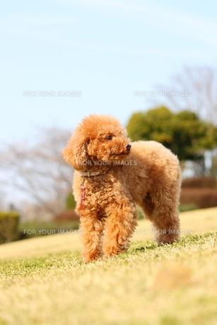 散歩中の犬の写真素材 [FYI00448857]