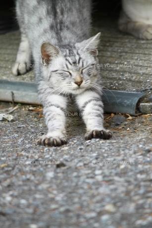 伸びをする猫の写真素材 [FYI00448859]