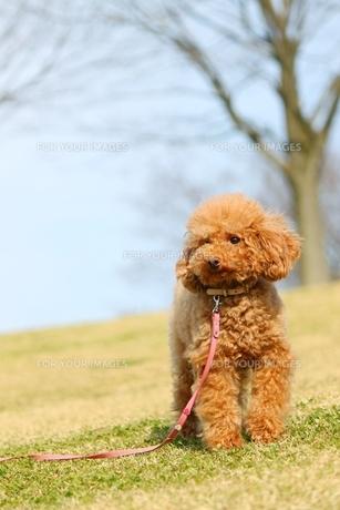 散歩中の犬の写真素材 [FYI00448861]